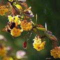 ... i wracam do swojego ogródka ... :)) #berberys #kwiaty #makro #trzmiel #wiosna #ogród