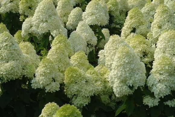 hortensja bukietowa limelight hydrangea paniculata c2. Black Bedroom Furniture Sets. Home Design Ideas