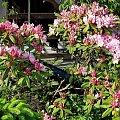 rododendron ... #kwiaty #krzewy #rododendron #ogród #wiosna