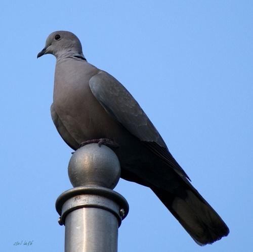 na dobry dzień ... #ptaki #sierpówka