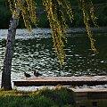 Leśna Aniu, tu już we dwoje :) #brzoza #drzewa #kaczki #pomost #zalew