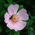 #róża #DzikaRóża #kwiaty #rośliny #owady #chrząszcze
