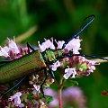 #chrząszcz #chrząszcze #owady