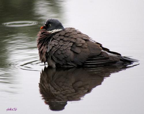 gołąbek w kąpieli ...****(ulub. - teresabartnik)**** #ptaki #gołębie #lato #natura