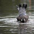 gołąbek w kąpieli ... #ptaki #gołębie #natura #lato