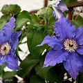 z ogródka mojej matuli ... #kwiaty #wiosna #ogród #Chomiąża #powojnik #clematis