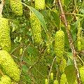 Szyszki brzozy, Puszcza Zielonka. #brzoza #drzewo #szyszki