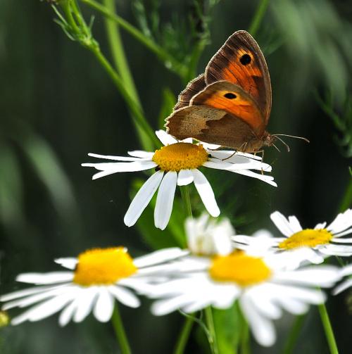 Motylek ,ale z dlugiej lufy 400mm:)) #motyle #natura