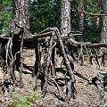 puszcza Niepołomicka - kroczące drzewa #las #puszcza #drzewa #sosna