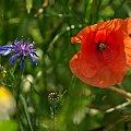 wśród pól #pole #mak #chaber #bławatek #kwiaty