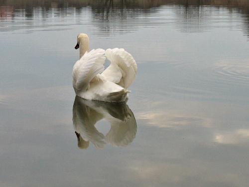 odrobina staroci #zalew #łabędzie #ptaki