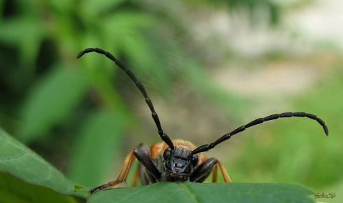 z ogródka ... #owady #chrząszcze #makro #ogród