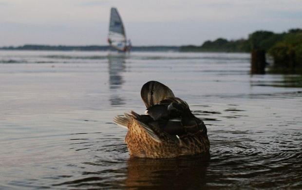 #ptak #ptaki #kaczka #kaczki #woda #jezioro #zalew #żagle