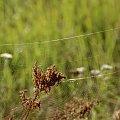 #łąka #trawy #pajęczyny