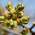 trochę wiosny ... dla tych co nie chcą i nie lubią jesieni ... :)) #pąki #makro #czereśnia #wiosna