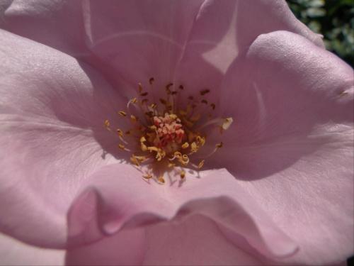 Dziendoberek wszystkim ;-) #róża #makro #środek #kwiat #różowe