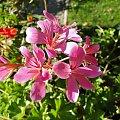 a tak w ogóle to dzieńdobry ;-) #kwiatki #kwiatek #kwiat #kwiaty #makro #różowe #czerwone