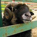 daj coś dobrego #farma #agroturystyka #Smolec #kozy #owce