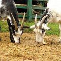 farma agroturystyczna #farma #agroturystyka #Smolec #kozy #owce