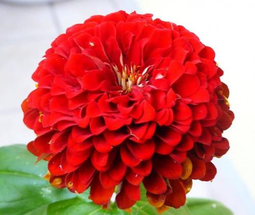 7.09.2009 Urodzinowa cynia dla OLENKA04. #cynia #kwiaty
