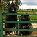 dwóch facetów na emigracji :) #farma #agroturystyka #Smolec #kozy #owce