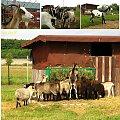 farma agroturystyczna, parę kilometrów od Wrocka na granicy Smolca #farma #agroturystyka #Smolec #kozy #owce