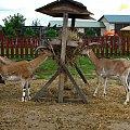 Pozdrowienia dla Poznania :)) #farma #agroturystyka #Smolec #kozy #owce