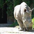 Nosorożec #nosorożec