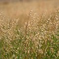 na polu ... na łące ... przy rowie ... :)) #trawy #owsik #rajgras #WPolu