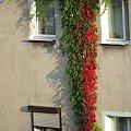wstęga :) #budynek #ściana #pnącze #okna #DzikieWino