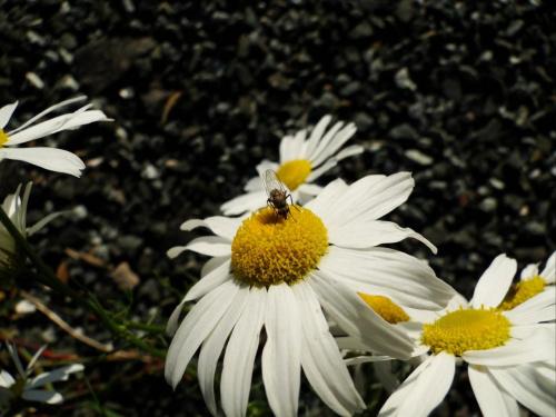 Się zdziwiłem jak mi nie uciekała z kwiatka, zwykle owady uciekają przede mną :P