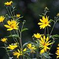 jesiennie ... :)) #jesień #WPolu #topinambur #SłonecznikBulwiasty #kwiaty
