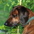 Lewy profil Korci wykonany przez znajomego Andrzeja jego aparatem ;-) #kora #pies #PosokowiecBawarski