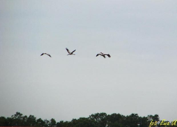 lecą żurawie :) #ptaki #żuraw #sejmik #odloty