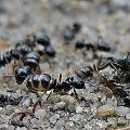 #mrówki