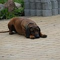 Śmieszny sfinsksio :)) #Kora #pies #PosokowiecBawarski