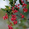 ogródkowe kolory ... #ogród #jesień #berberys #PoDeszczu