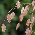 już długo rośnie w moim ogródku i nigdzie nie mogę znaleźć jej nazwy ... #trawy #jesień #ogród #makro
