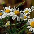 mam przestój: a to jeszcze z letnich spacerów wśród pól i lasów :) #kwiaty #rumianki #lato