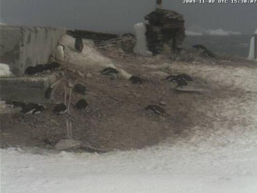 Pingwiny Adeli-stacja na Antarktydzie.