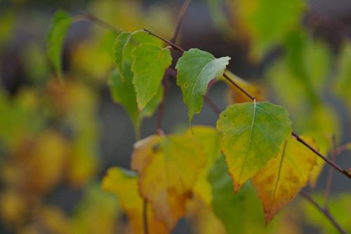 #jesień #liście #brzoza