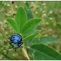 to jeszcze z letniej kanikuły #chrząszcz #zwierzęta #natura