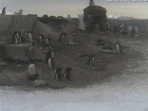 Pingwiny Adeli na Antarktydzie