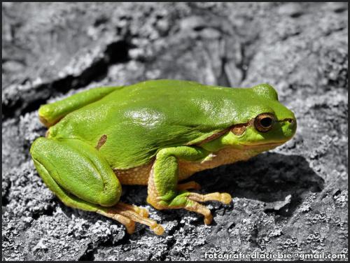 Zielono mi ... :) #natura #zwierzęta #żaby #żabka #płazy #makro