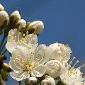 różne kwiatki ... :) czereśnia ... #kwiaty #ogród #makro #wiosna #drzewa #czereśnia