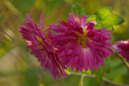 #kwiaty #chryzantemy