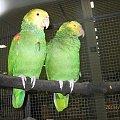 Amazonka żółtogłowa. #papugi
