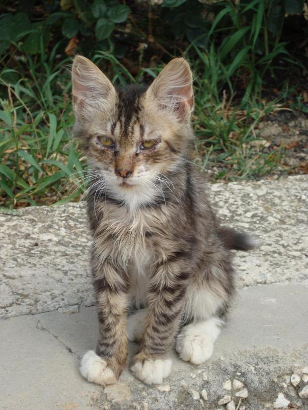 Chorwacki kotek