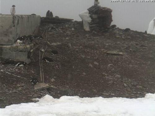 Antarktyda-pingwiny Adeli
