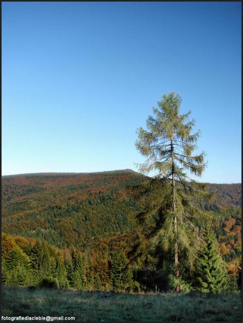 W samotności ... #Krynica #Wierchomla #góry #widoki #panorama #drzewa #natura #jesień
